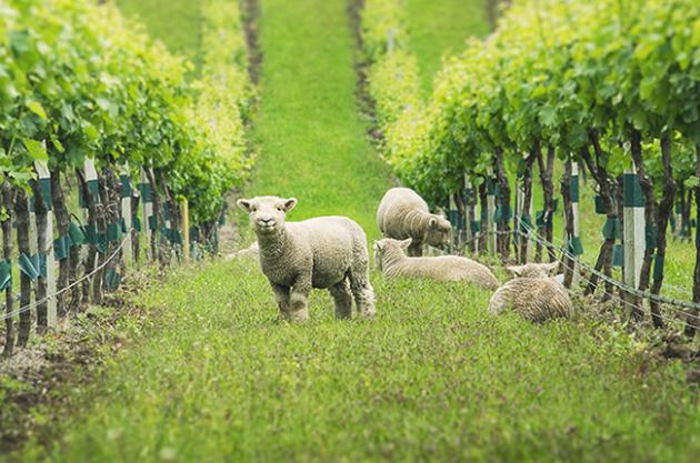 Vineyard animals, Babydoll sheep