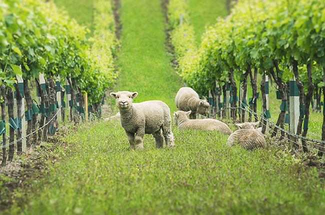 Vineyard animals, Babydoll sheep