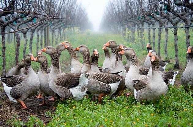 Vineyard animals, geese