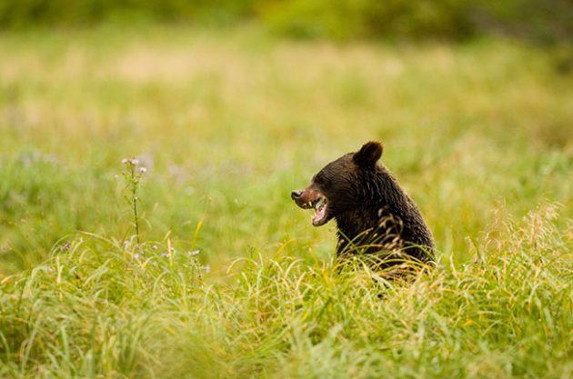 vineyard animal, bear