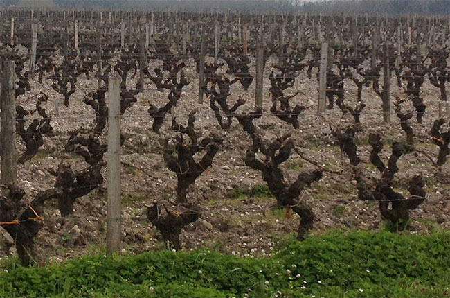 Bordeaux vines