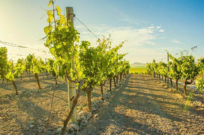 Balbaina vineyards in Sanlucar, Jerez