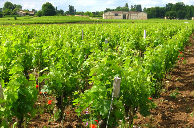 Vineyards owned by Château Tour Saint-Fort
