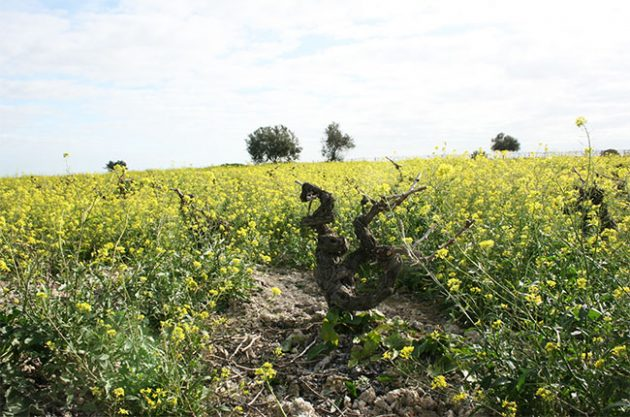 Old Palomino vines in Sanlucar's Campeonisimo vineyard, Jerez.