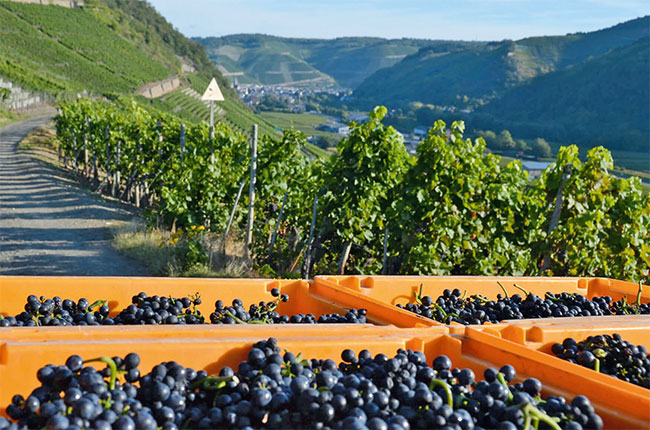 Pinot Noir harvest at Jean Stodden vineyards overlooking the Ahr river
