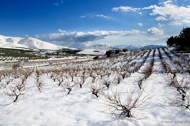 Cretan wine, vineyard in snow