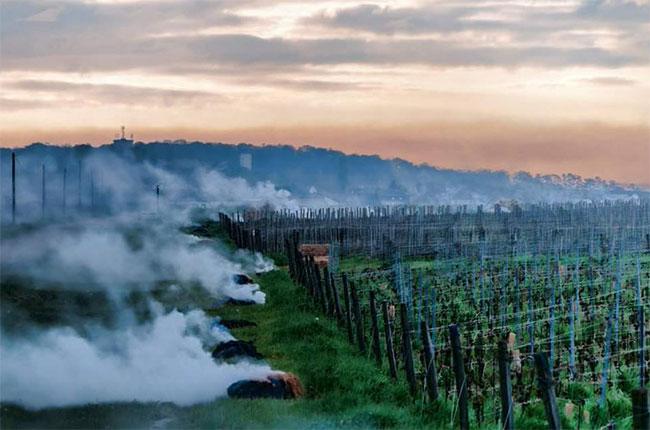 Burgundy frost. burgundy 2016 harvest