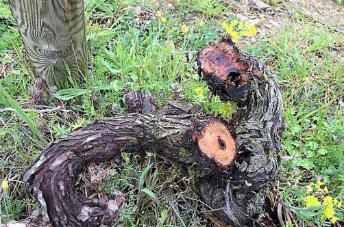 A vandalised vine at Clot de l'Oum in Roussillon