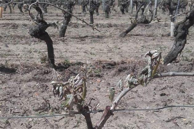 Frost inLoire vineyards