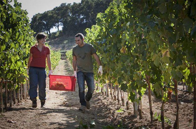 Vermentino harvest in Sardinia, Andrew Jefford