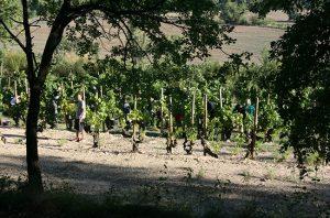 Spanish winemakers, Raventos harvest