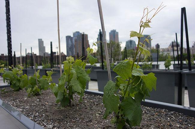 Rooftop Reds, New York vineyard