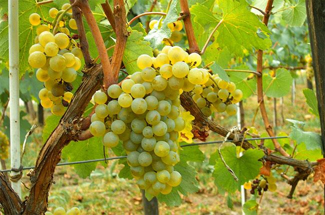 chardonnay grapes, abc quiz