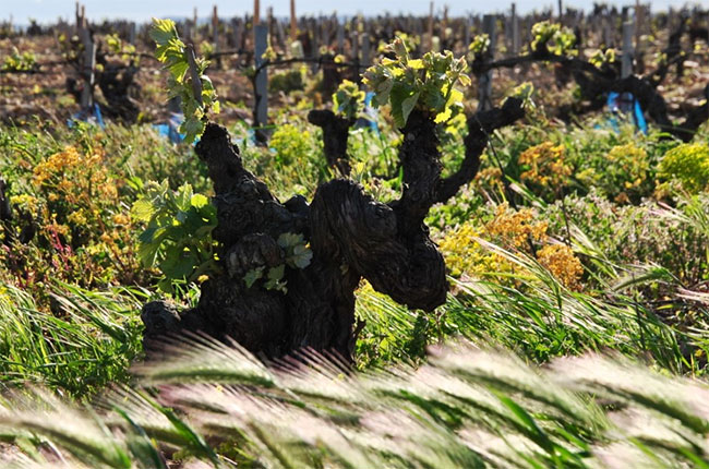 The mistral wind blows through Châteauneuf vineyards.