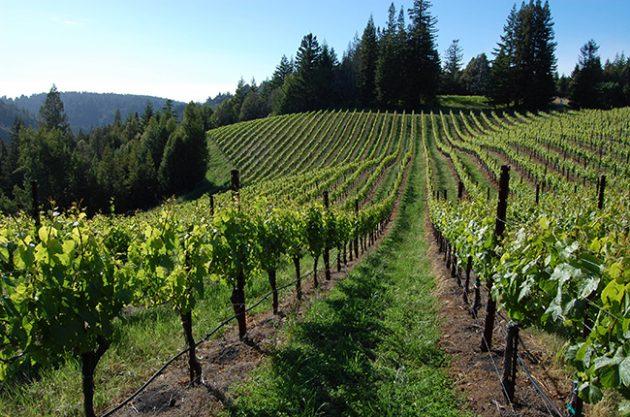 USA California, Sonoma County Flowers Vineyard