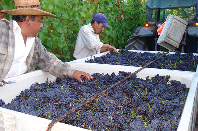California, Sonoma County Kutch Vineyards harvest