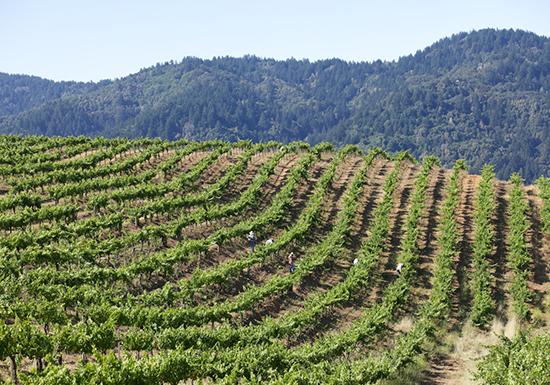 California, Ridge Vineyards Klein Vineyard