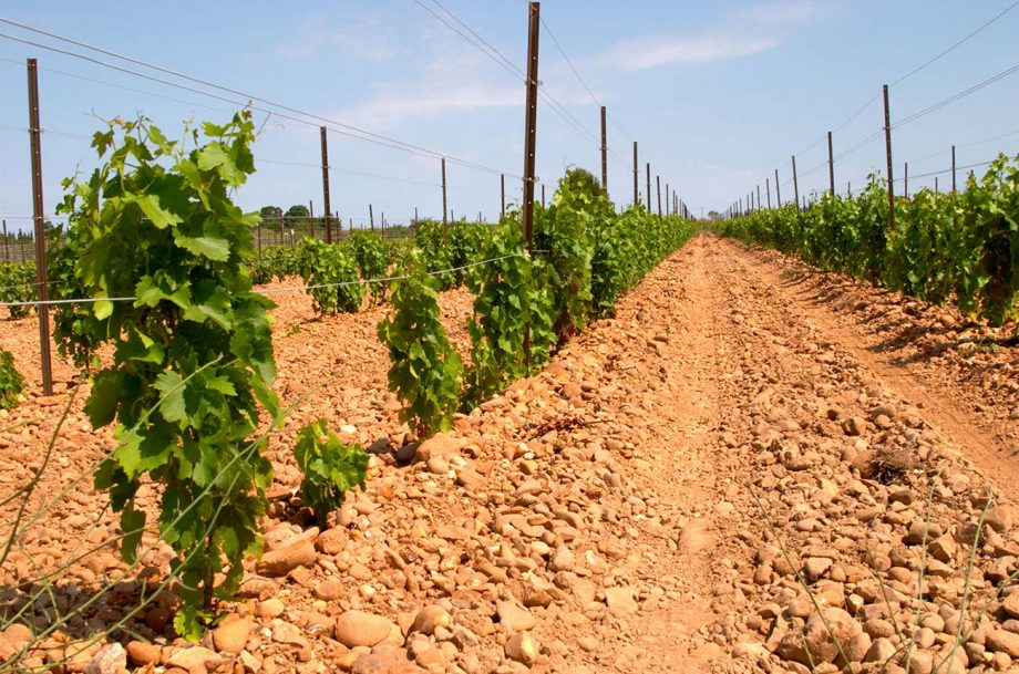 Vineyards growing Marselan grapes