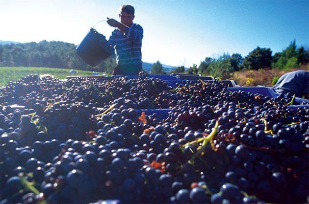 languedoc wine vintages, languedoc-roussillon