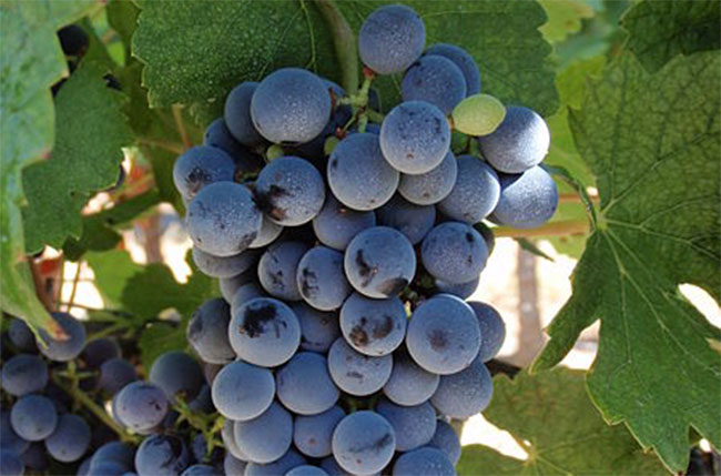 marselan, chinese wine