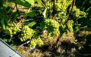 Mount Harry Chardonnay, english wine quality, jefford