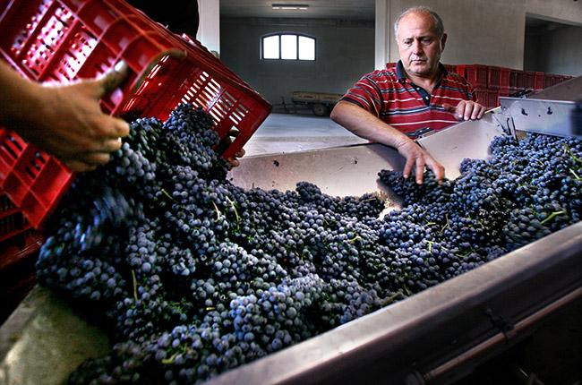 paolo scavino sorting grapes