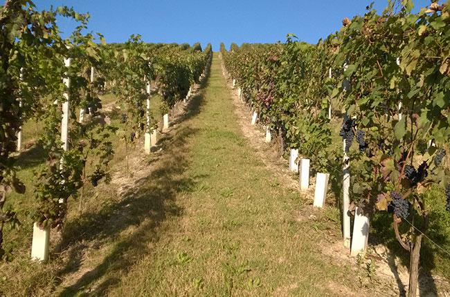 Barbera vineyards