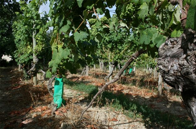 Pre Phylloxera Tannat vines, plaimont wines, south-west france