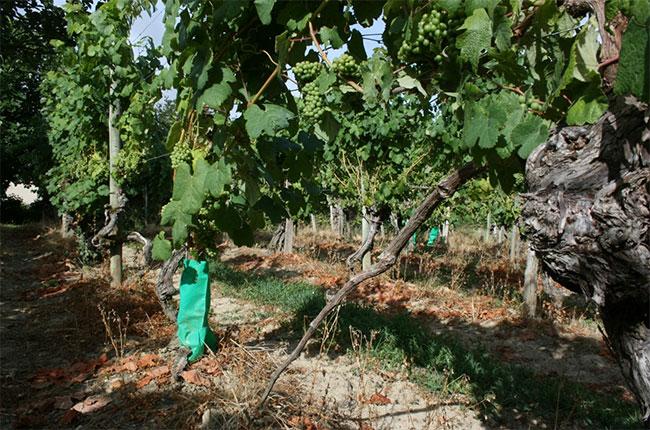 Pre Phylloxera Tannat vines, plaimont wines, south-west france