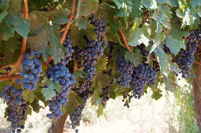Cabernet Sauvignon Wine Guide