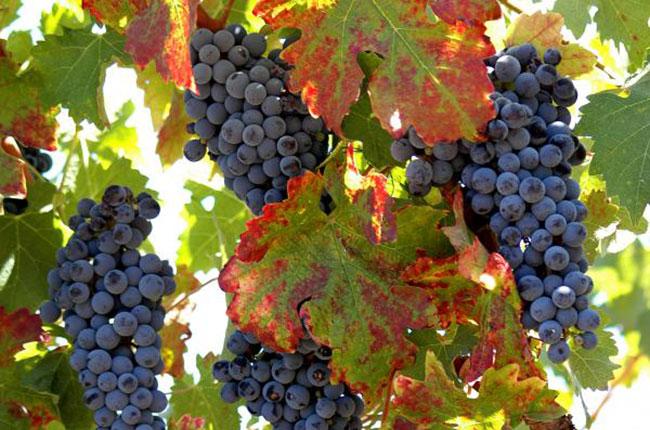 California Zinfandel grapes