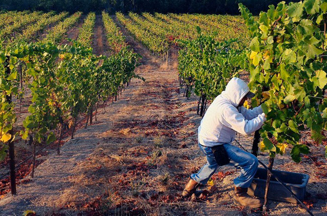 2016 California wine harvest