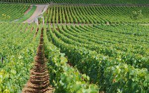 Montrachet, burgundy vineyards