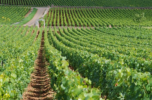 Montrachet, burgundy vineyards