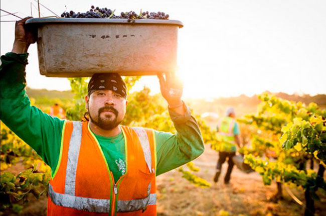 california wine harvest photos