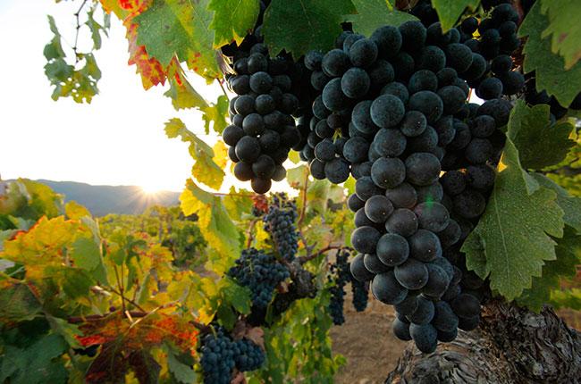 California zinfandel, old vine, sonoma