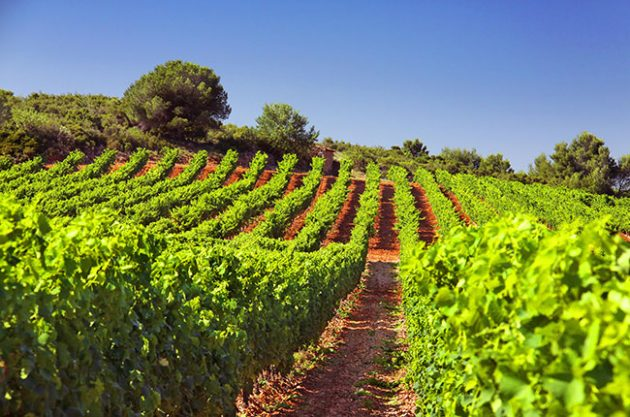 Foncalieu vineyards in Languedoc, jefford