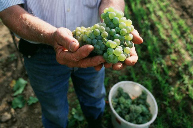 Austrian Riesling harvest in Kamptal