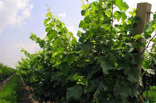 Glera grapes, used in Prosecco production, on the vine. Credit: Wikipedia / Flickr / Paul Barker Hemmings