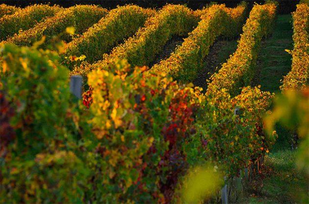 Vineyards in Madiran