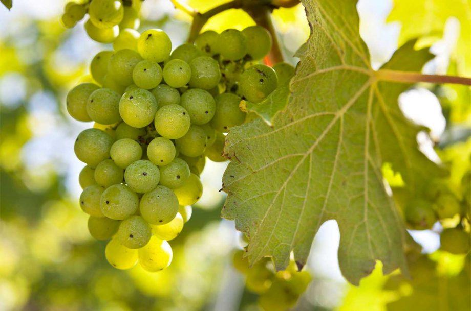 Bacchus grapes on a vine