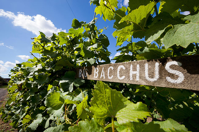 bacchus wine grape