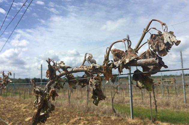bordeaux frost damage