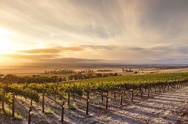 Alternative australian grapes