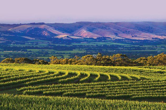 Alterantive australian grapes