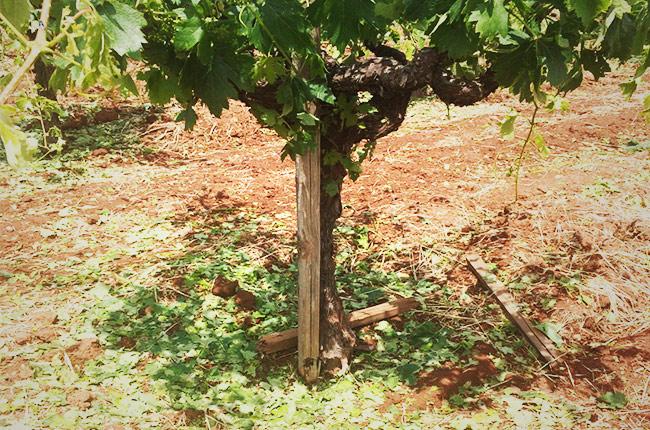 Shredded canopies and damaged fruit on Atlas Peak Turley Wine Cellars