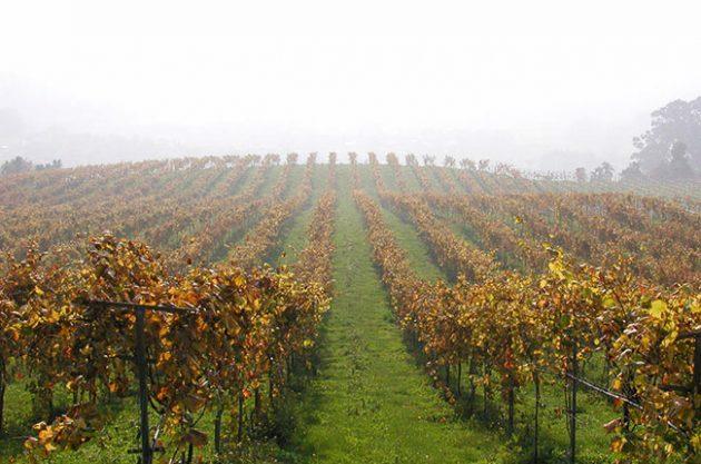 Vionta Freixenet vineyards