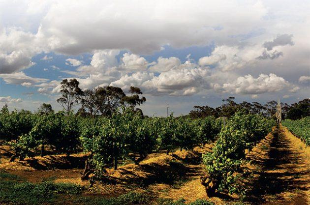 Australia old vines