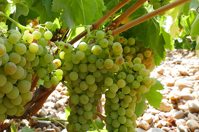 Verdejo grape