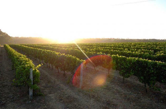heatwaves vineyards